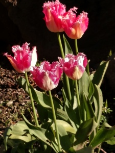 Tulips in Epiphany Garden Spring 2016