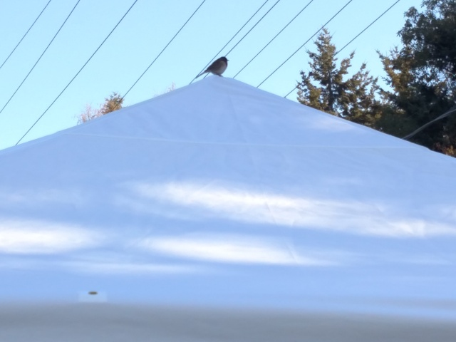 Easter Junco at the top of the pavillion tent April 12 2020